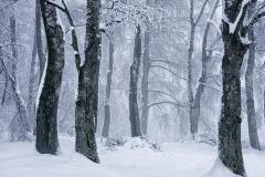 Salimbeni_trees_020