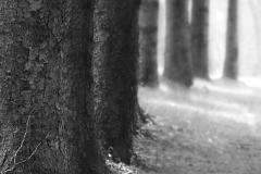 salimbeni_trees003