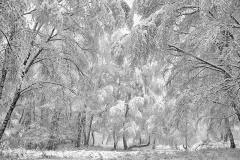 salimbeni_trees010