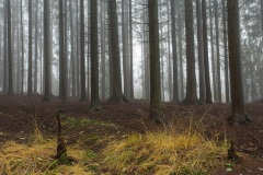 Titolo: Nebbia nell'abetaia - Montegrino (VA)